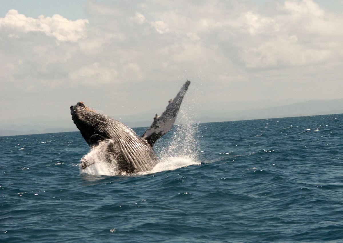 Baleine-a-bosse-Ste-Marie